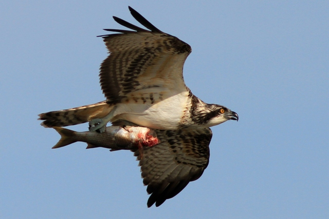 Osprey flying and carrying a fish - Pandiona haliaetus - Águila pescadora - Àguila peixatera