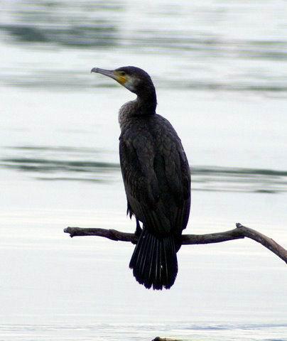 Great Cormoran - Phalacrocorax carbo - Cormorán - Corb Marí Gros