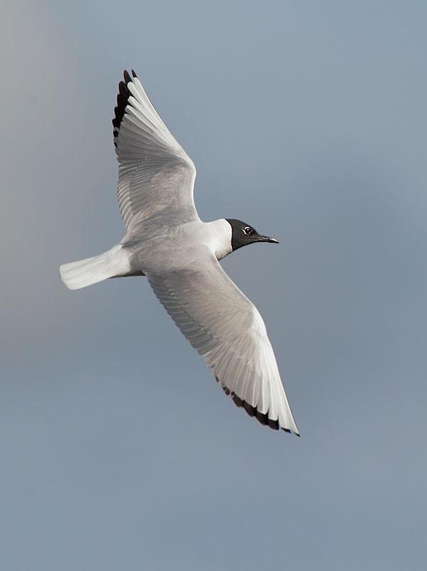 Bonapartes Gull, breeding plumage