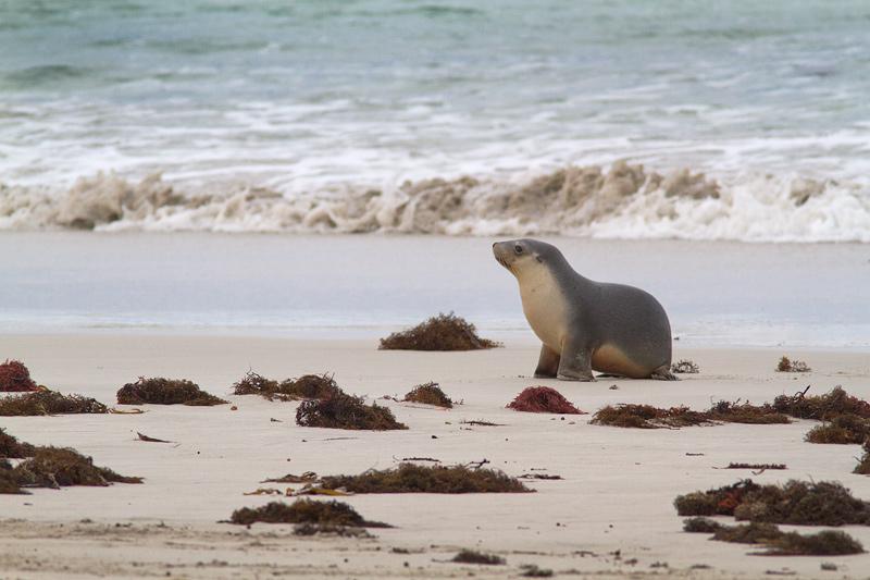 <i>Neophoca cinerea</i></br>Australian sea lion