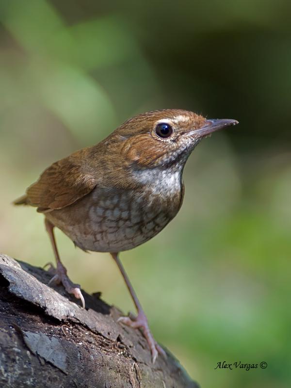 Rufous-tailed Robin - 4