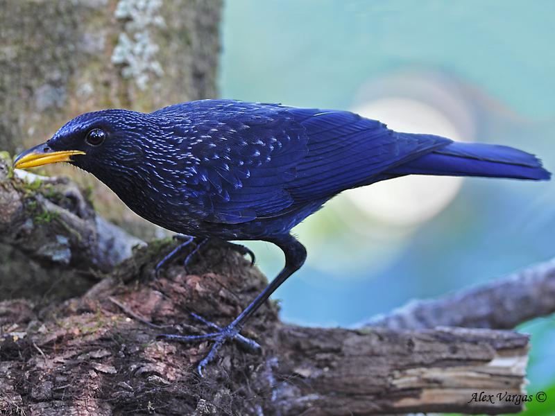 Blue Whistling Thrush - 2009 - December