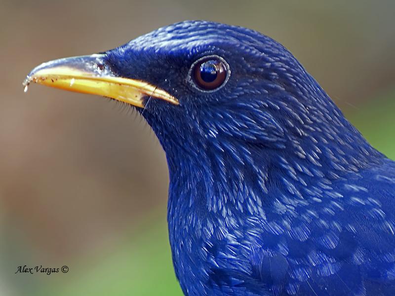 Blue Whistling-Thrush - portrait - 2011