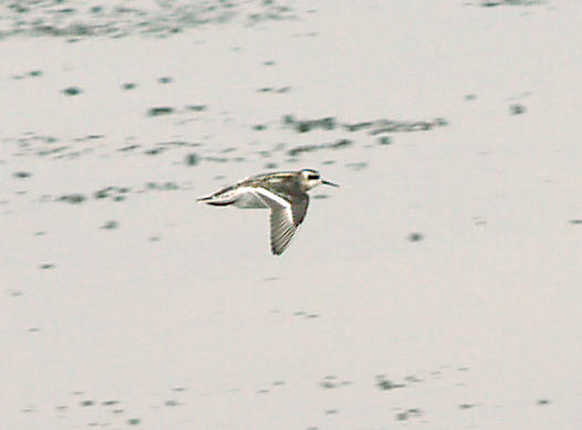 Red-necked Phalarope - 9-6-08 Juv. in flight