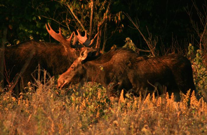 Moose in Love
