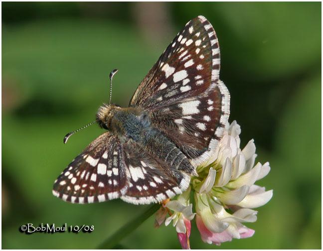 Common Checkered Skipper-Female
