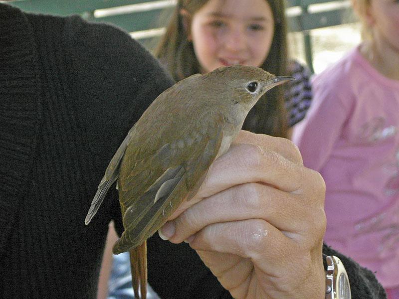 Sydnäktergal - Common Nightingale (Luscinia megarhynchos)