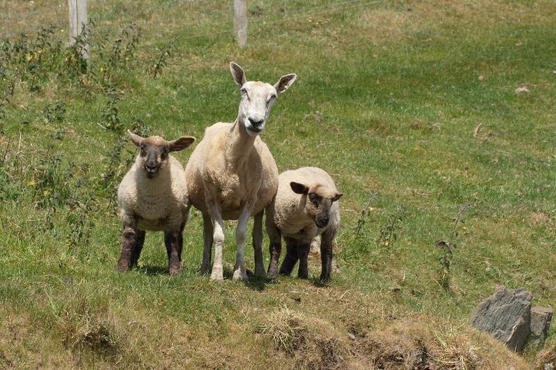 More Sheep