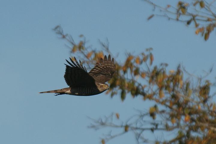 Sparrowhawk  ( Accipiter nisus ). Female