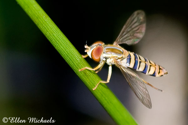 Syrphid (Flower) Fly