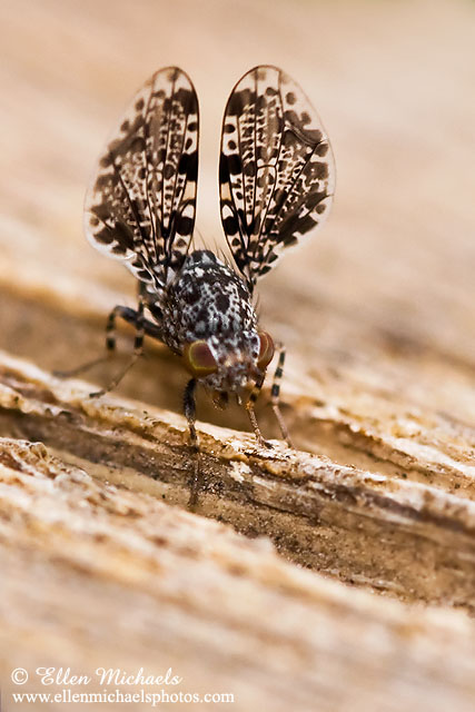 Picture-winged Fly (Peacock Fly)