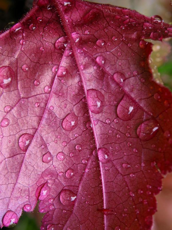 Wet pink leaf