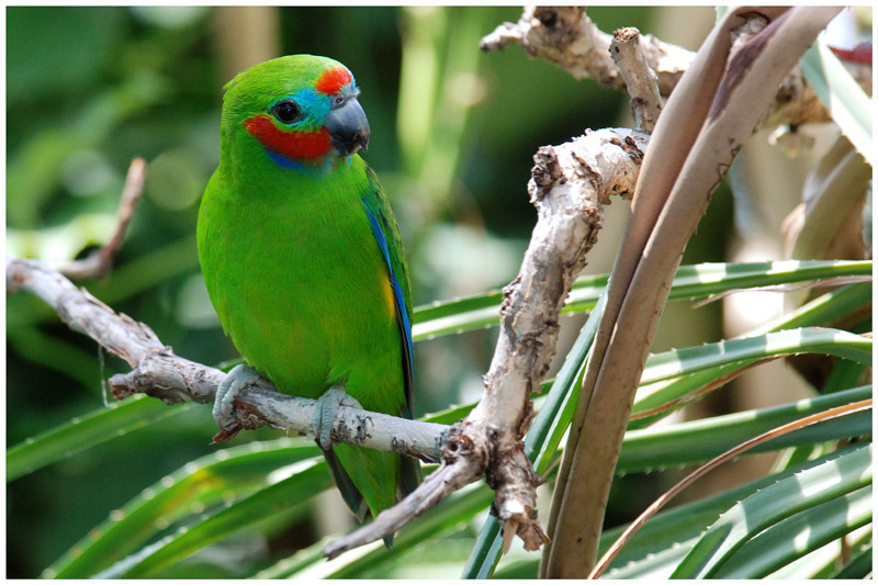 Psittacule double-œil - Cyclopsitta diophthalma - Double-eyed Fig-Parrot - QLD
