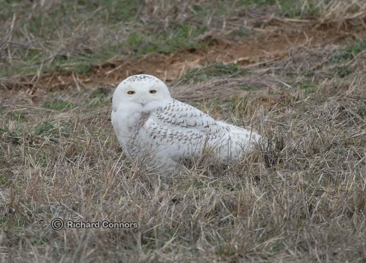 snowy owl 017