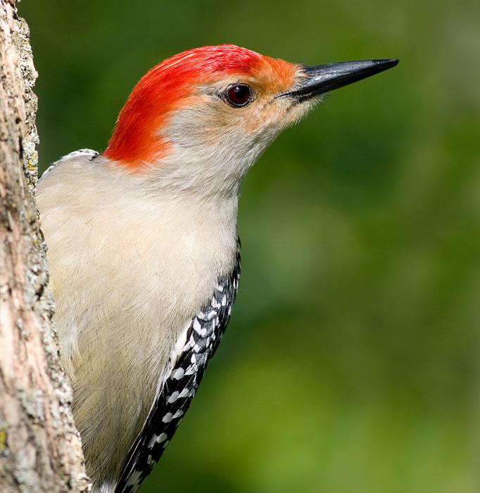 red-bellied woodpecker 207