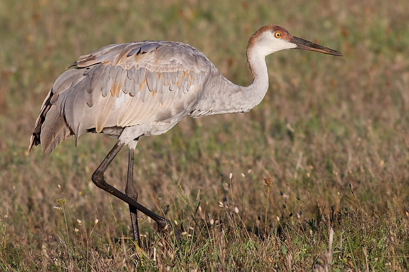 sandhill crane 183