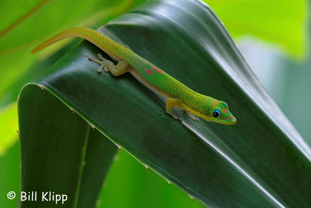 Gold Dust Day Gecko  2