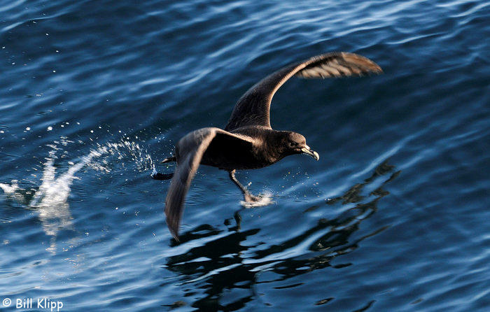 White Chinned Petrel,  Doubtful Sound  1