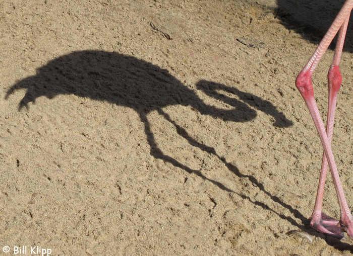 Caribbean Flamingos,  San Diego Zoo   3