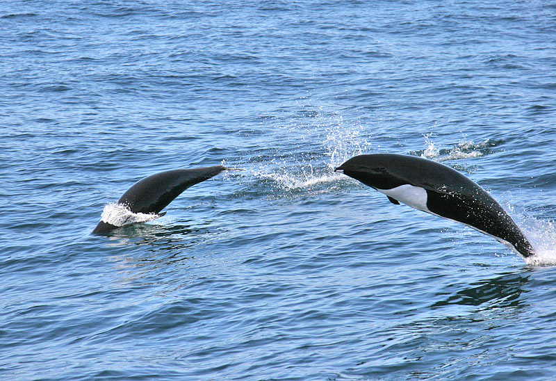 Northern Right Whale Dolphin photo - Glen Tepke photos at ...