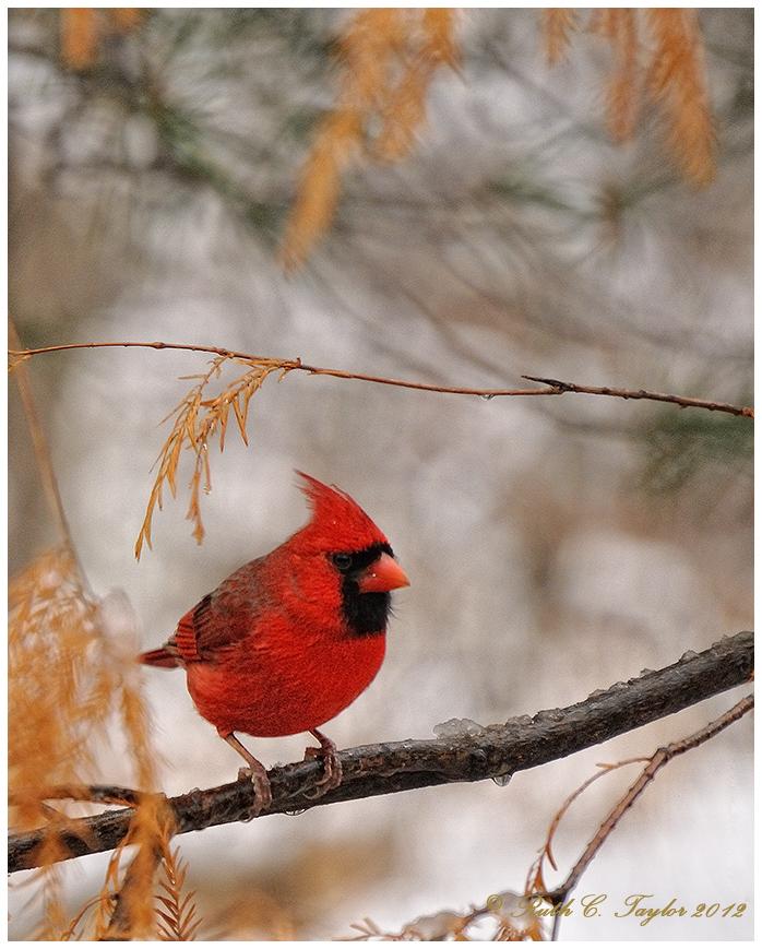 Cardinal in a Winter snow