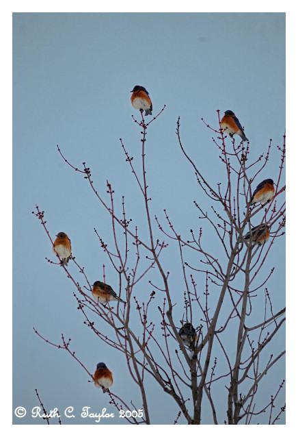 Blue bird Tree