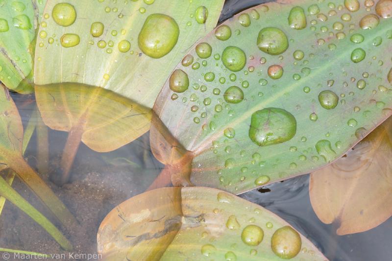 Floating pondweed <BR>(Potamogeton natans)