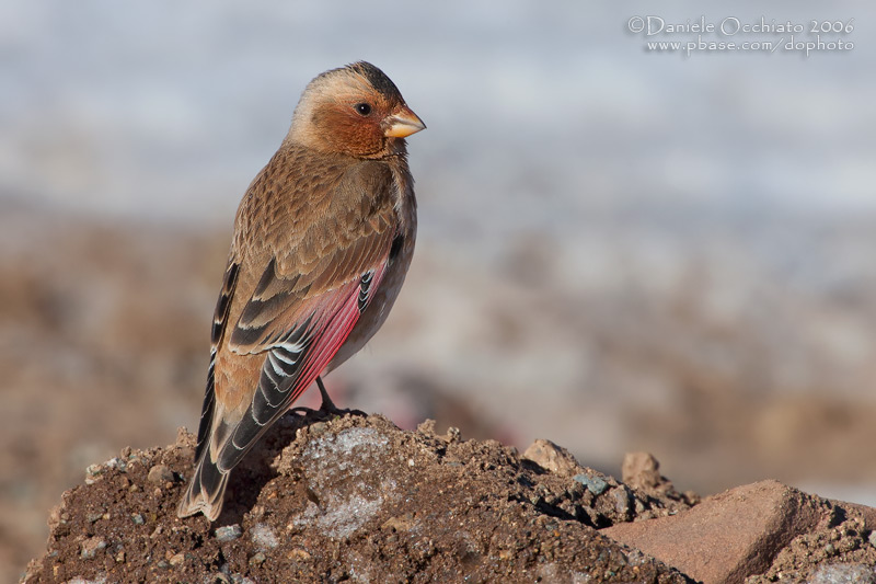African Crimson-winged Finch (Rhodopechys alienus)