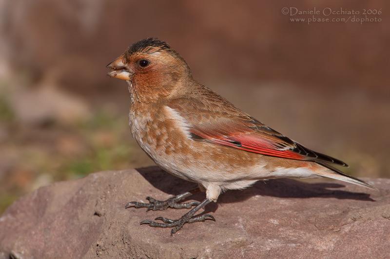 African Crimson-winged Finch (Rhodopechys alienus)
