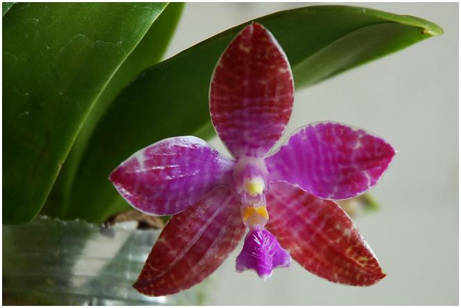 Phalaenopsis lueddemanniana Mindanao