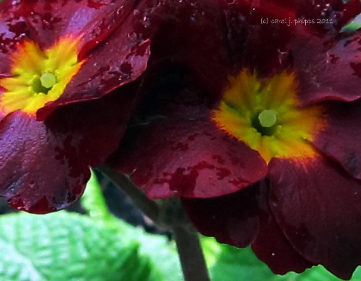 Ruby Primrose
