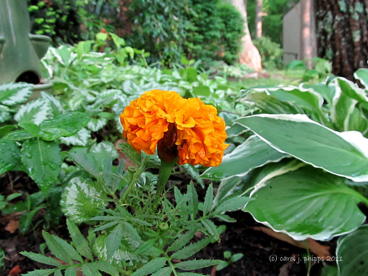 Marigold and Hostas
