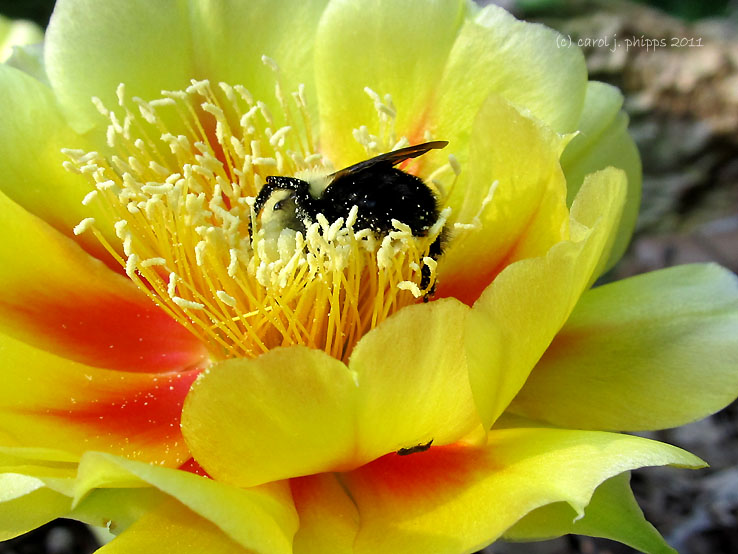 Prickly Pear and Busy Bee