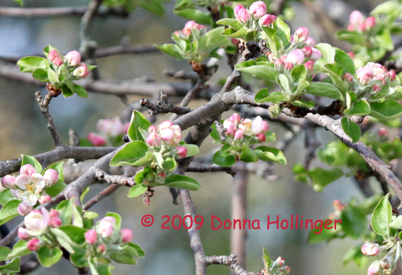 New Apple Blossoms