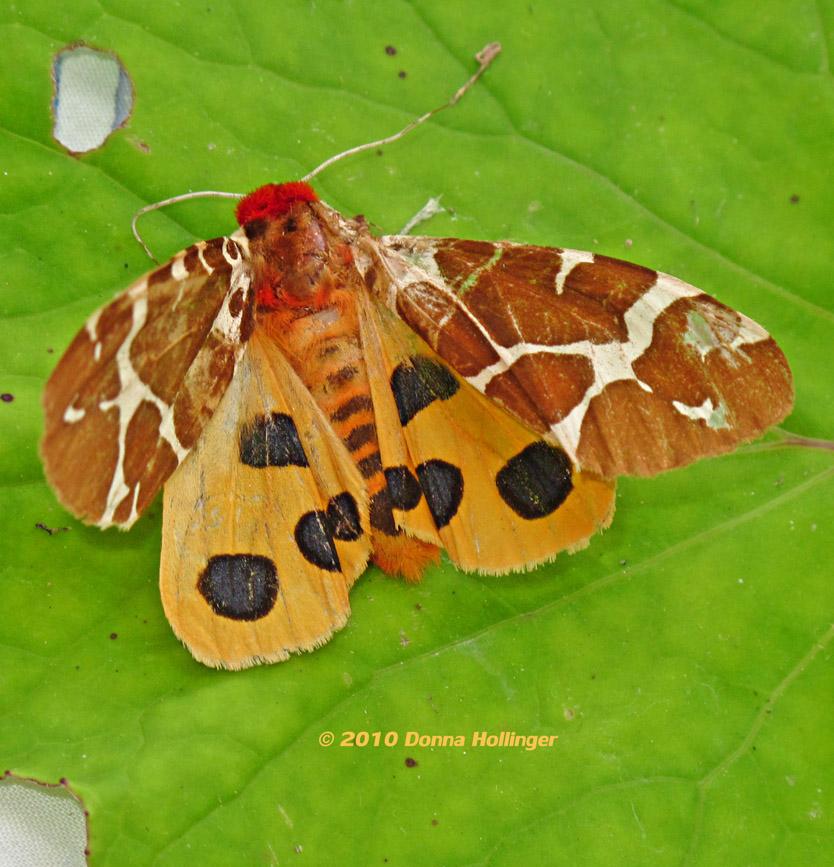 864.Arctiidae.tiger.m0293.jpg