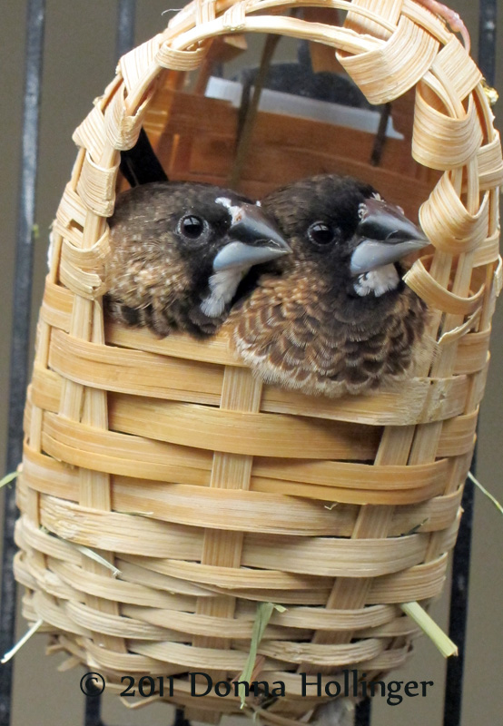 Together, Society Finches