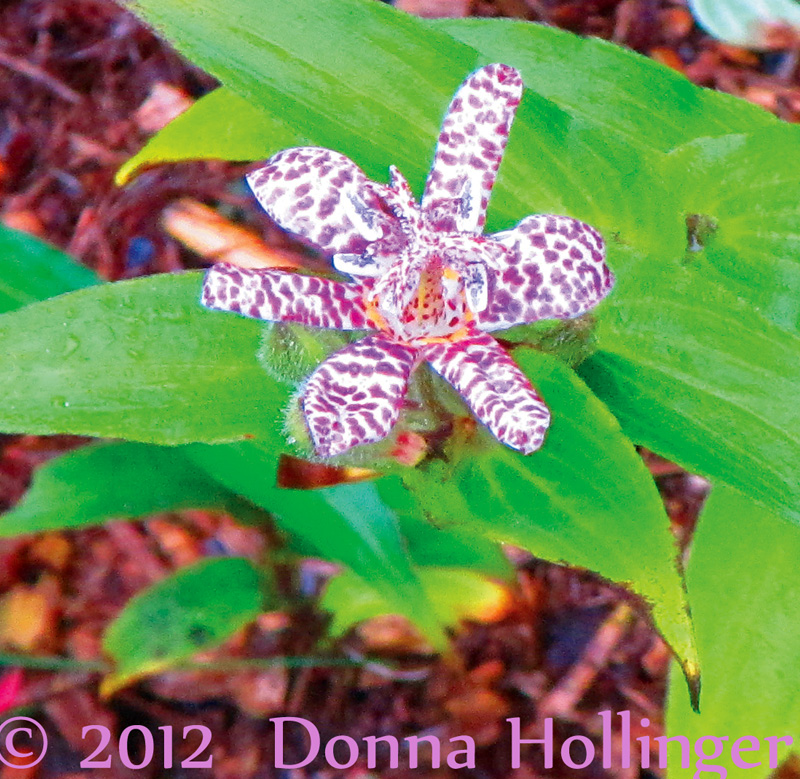 Tricyrtis...toad lily just starting to bloom!