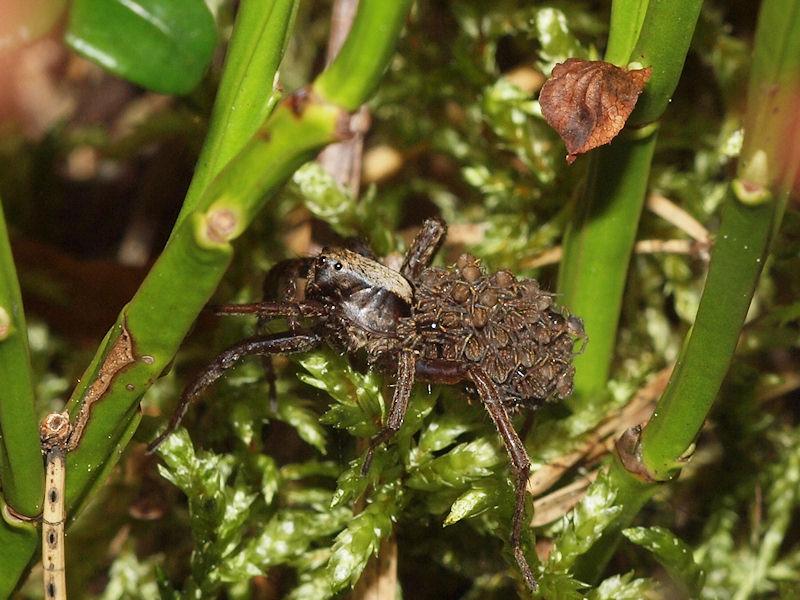 Vargspindel - Lycosidae - Wolf Spider