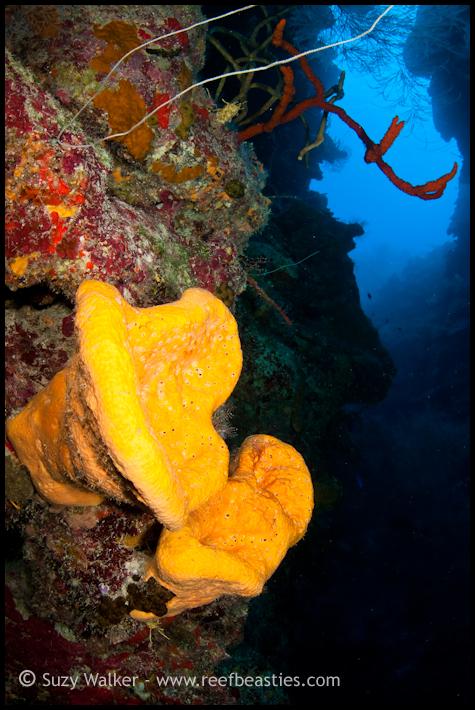 Yellow Ear Sponges