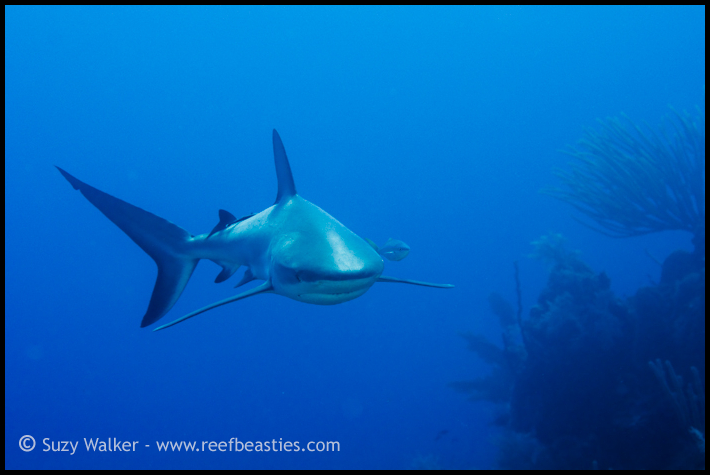 Reef shark heading towards me