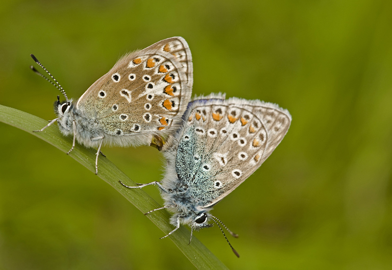 Common blue/Icarusblauwtje 14