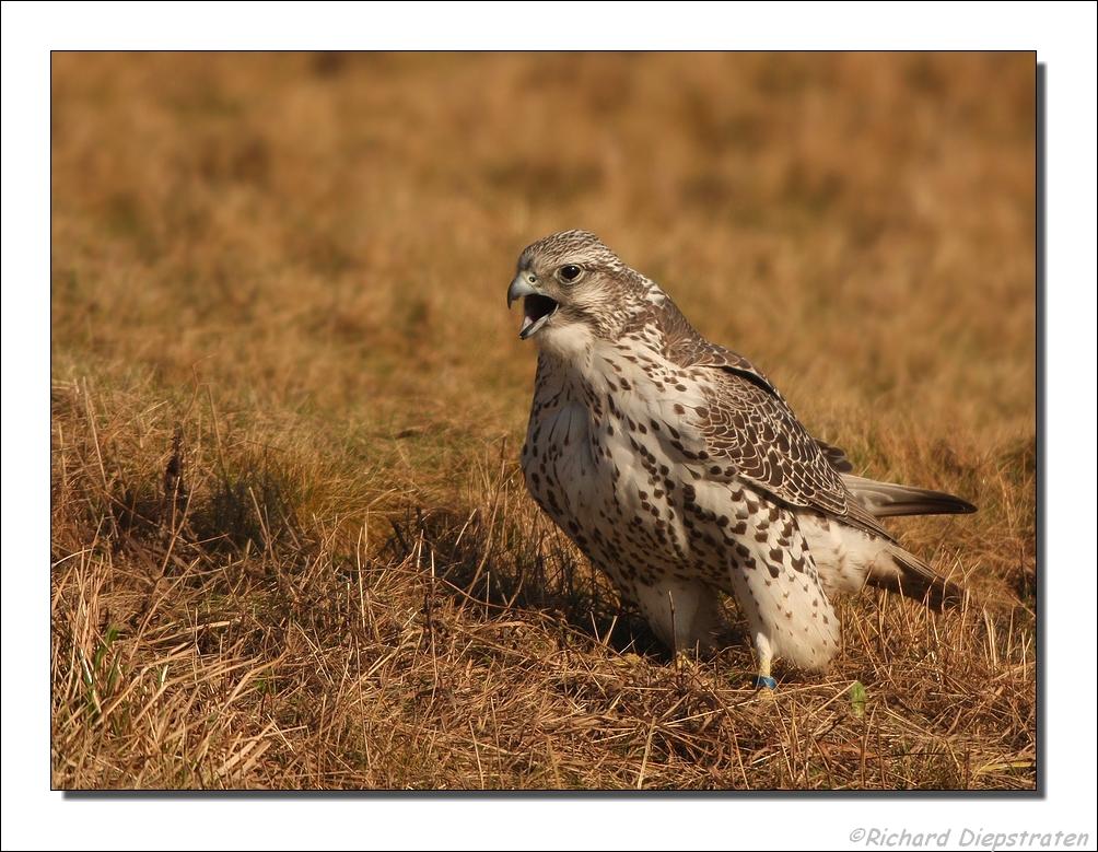 Falconiformes. sub Falconidae - sub fam Falconinae - gênero Falco Original