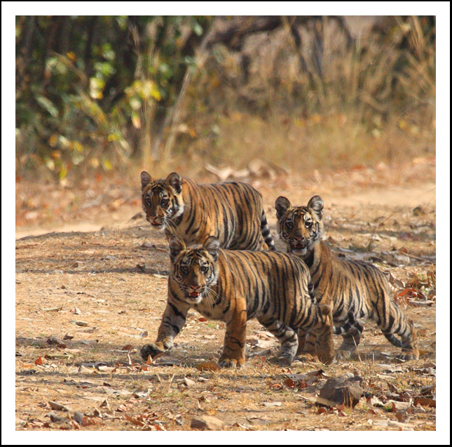 A Trio of Tiger Cubs, India.