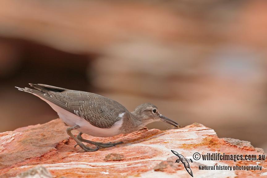 Common Sandpiper a8301.jpg