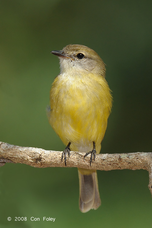 Flycatcher, Lemon-bellied @ Casuarina Coastal Reserve