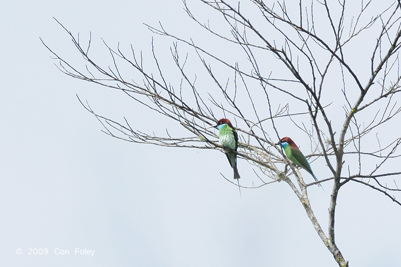 Bee-eater, Blue-throated @ Telecom Loop