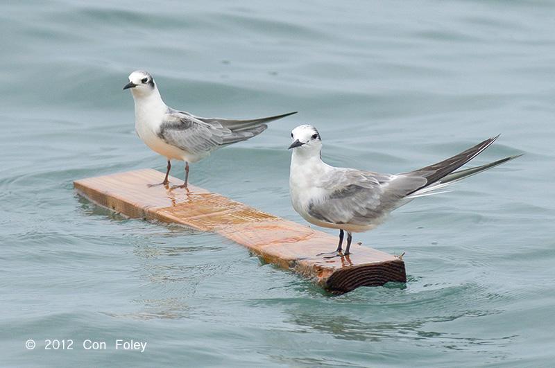 Tern, White-winged @ Straits of Singapore