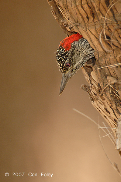 Woodpecker, Golden-tailed (female)