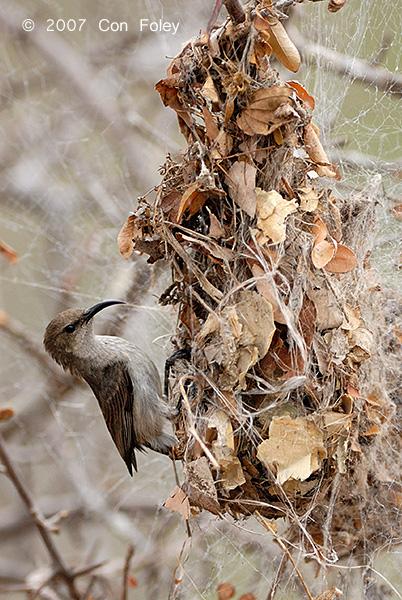 Sunbird, White-bellied (female)