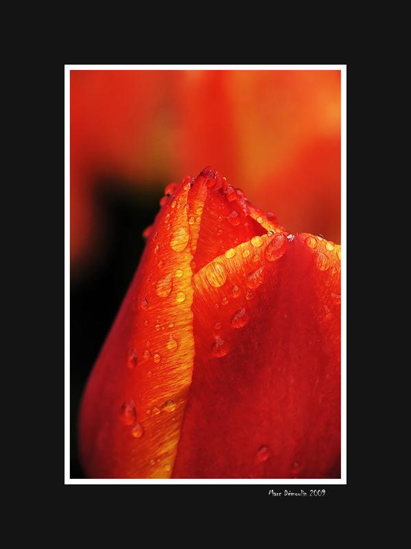Red tulip top